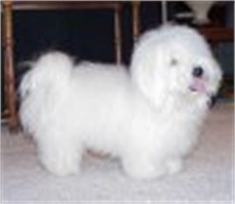 shih tzu vs coton de tulear search for small dogs by looking at pictures 20 pounds and