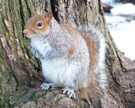 squirrel central image gallery squirrel