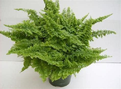 fluffy ruffle fern plant is a small fern most ferns will
