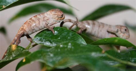 Raising For A Much Smaller Price by Much Ado About Chameleons Cost Of Raising A Small Panther