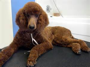 teddy bear cut and grooming styles for poodle puppies