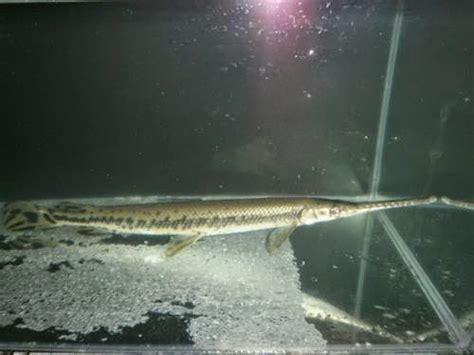 Ikan Aligator Florida Gojek Only jenis jenis ikan aligator gar cesar animalsblog