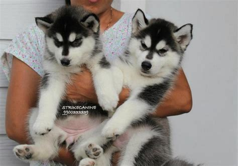 siberian husky puppy price siberian husky puppies for sale ravindra 1 13933 dogs for sale price of puppies