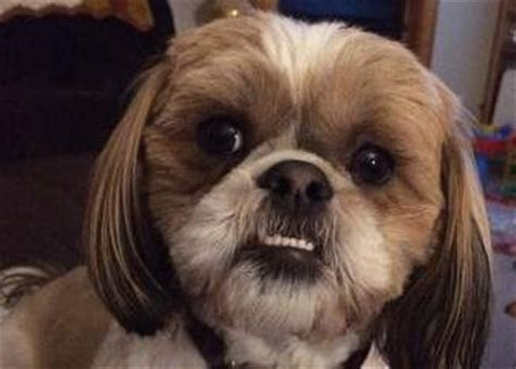 shih tzu teeth shih tzu origin interesting history and ancestry of the breed