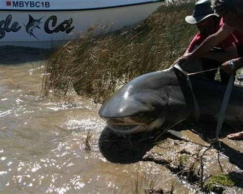 mississippi river sharks river sharks 11 largest freshwater fish in the world
