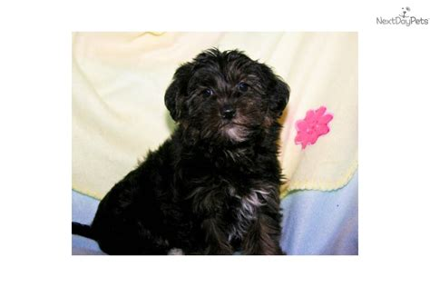 black teacup yorkie meet tiny a terrier yorkie puppy for sale for 350 tiny teacup
