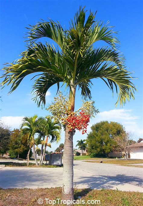 adonidia merrillii veitchia merrilli christmas palm