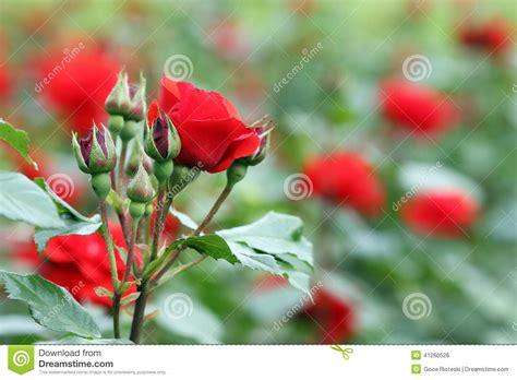 imagenes de jardines de rosas rojas jard 237 n de rosas rojas foto de archivo imagen 41260526
