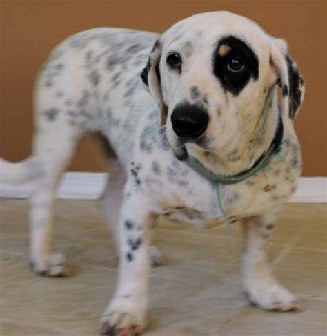 dalmatian and golden retriever mix 10 melting basset hound mix breeds to aww