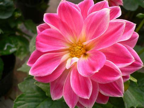 dalia fiore significato il linguaggio dei fiori dalia