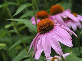 purple coneflower echinacea purpurea the flowers avenue