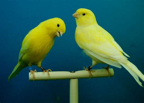 canaries bird yellow stock photos free images wing beak yellow fauna vertebrate