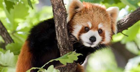 Panda Gabut pressemitteilung rote pandab 228 ren kamele und m 246 nchgeier