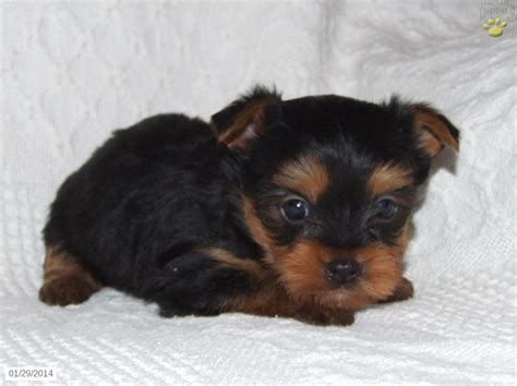 yorkie puppies for sale in maine top yorkie puppies wallpaper wallpapers