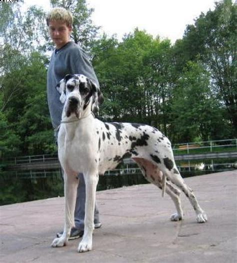 great dane puppy cost great dane puppies for sale khalsa damanveer 1 2610 dogs for sale price of
