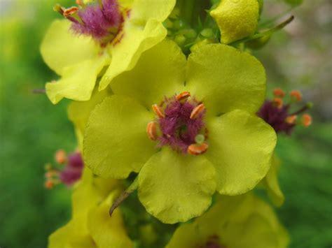 immagini fiori stupendi fiori stupendi verbascum sp forum natura mediterraneo