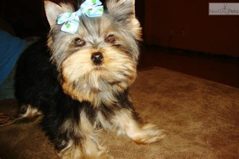 10 lb yorkie terrier yorkie puppy for sale near dallas fort worth 8ebd3510 8981