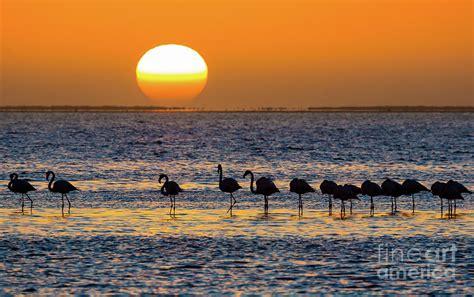 Flamingo Sunset flamingo sunset photograph by inge johnsson