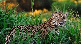 What Is The Jaguars Diet Jaguars Habitat
