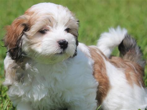 akc havanese breeders of merit heavenly s puppies for sale