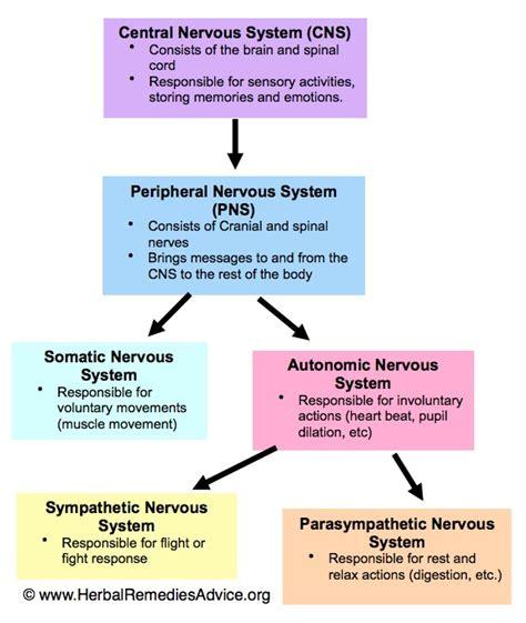 flow diagram of nervous system structure of the nervous system