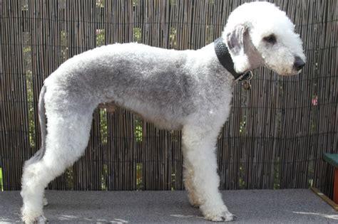 bedlington terrier puppies for sale pet dogs picture bedlington terrier breed breeds picture