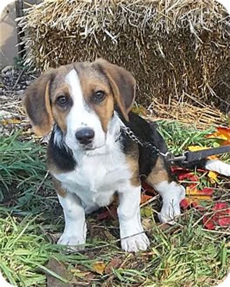 corgi puppies chicago beagle puppy picture sent by breeds picture