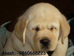 pug puppies price in pune all types of show quality pups and at reasonable price pune free