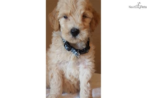goldendoodle puppies for sale in houston andy goldendoodle puppy for sale near houston