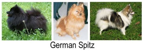 german spitz and pomeranian differences differences between pomeranians and the german spitz pomeranian information