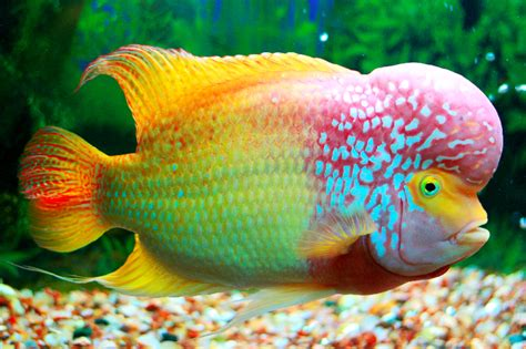 Anakan Arwana Rtg the jungle store the flowerhorn fish