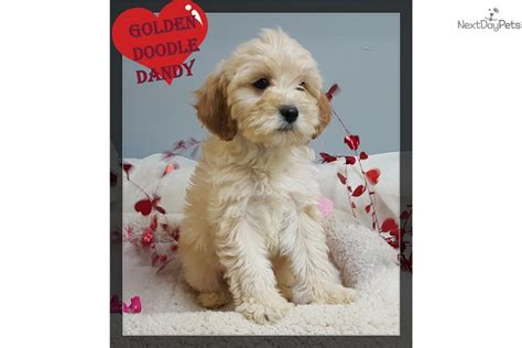 cavapoo puppies mn cavapoo puppy for sale near minneapolis st paul minnesota 82ae50c2 6c61