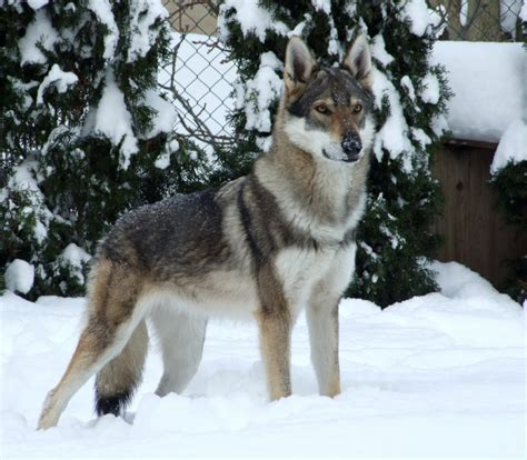 breeds that look like wolves 17 breeds list that look like wolves wolf dogs zoopedia