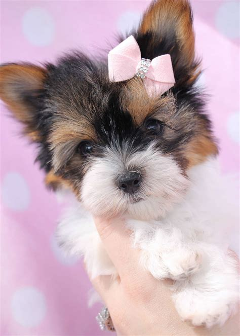 florida yorkie breeders teacup parti terrier puppies florida teacups puppies boutique