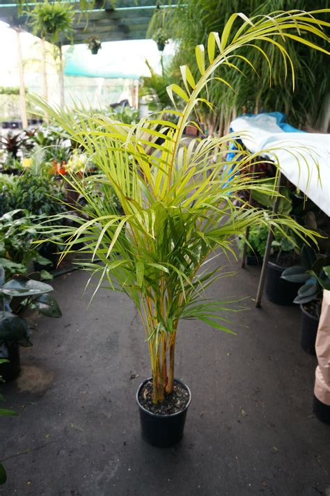 golden cane palm westlake nursery