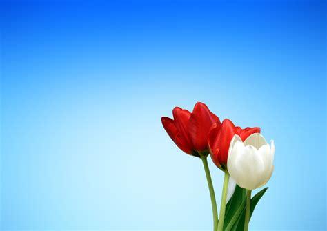 Benihbijibibit Bunga Tulip Blanc and white flower 183 free stock photo