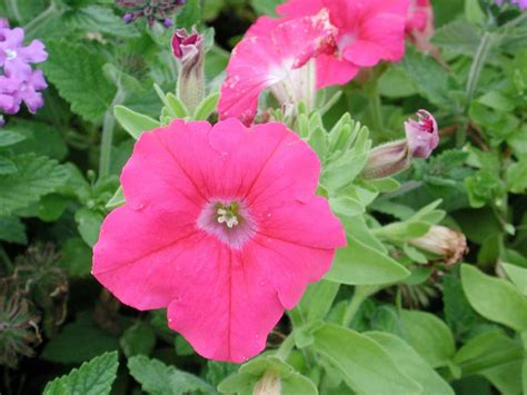 petunia supertunia giant pink annual flower research at bluegrass lane