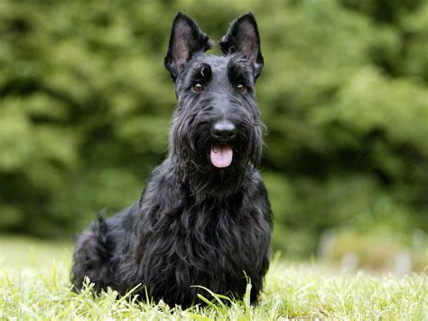 how to trimscottish terrier perfectly dog training techniques and tips for your scottish terrier