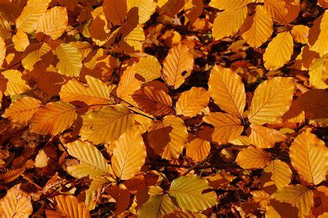 leaf pattern wiki file copper beech fagus sylvatica f purpurea autumn