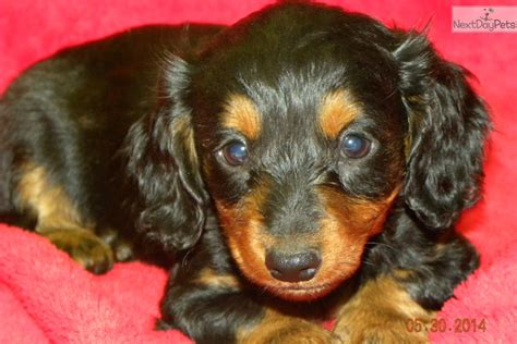 dachshund puppies arkansas dachshund dachshund chion bloodlines miniature longhair breeds picture