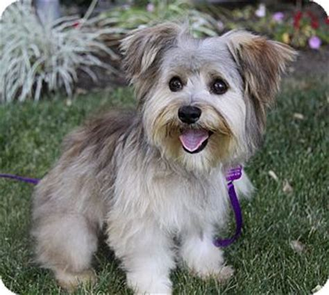 maltese yorkie mix puppies adoption terrier rescue and adoption adopt a terrier breeds picture