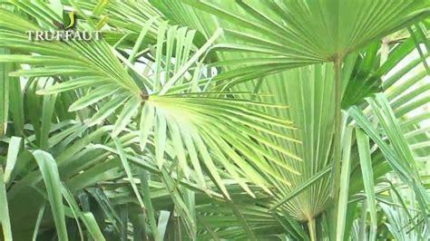 Le Palmier le palmier trachycarpus fortunei jardinerie truffaut tv