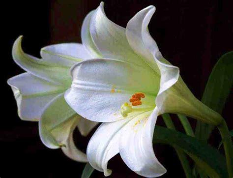 gambar bunga lili putih white lily pernik dunia
