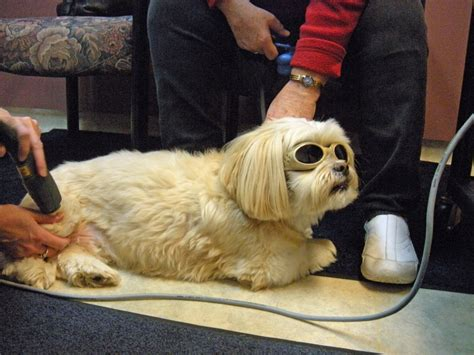 laser therapy for dogs mls therapy laser georgetown animal clinic pc veterinarian serving williamsville