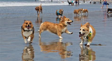 corgi puppies san diego august san diego corgi meetup coronado the san diego corgi meetup