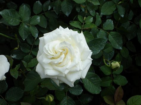 imagenes de nochebuenas blancas rosas de varios colores ecuador nostalgia gabitos
