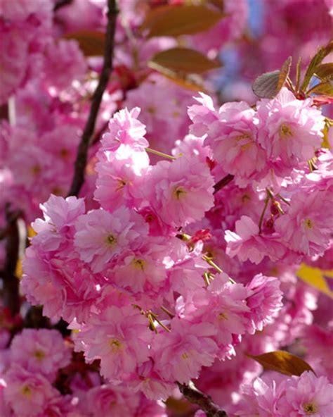 gambar bunga bunga sakura