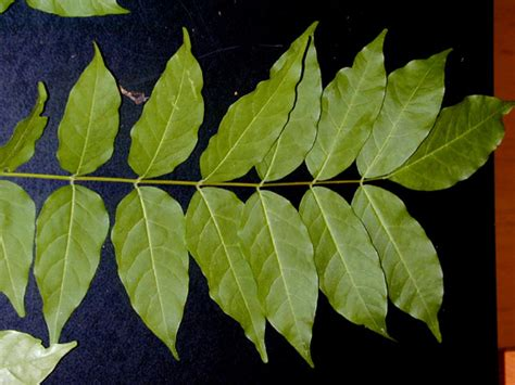 wisteria vine leaves www pixshark com images galleries