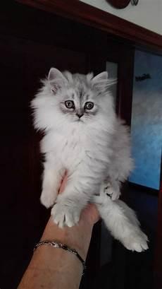 immagini di gatti persiani persiani chinchilla vendita gattino persiano a roma