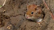 Wirbel Um Madeira Maus Forscher Spekulieren 252 Ber